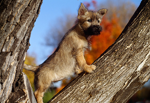 PUP 14 RK0074 04 © Kimball Stock Cairn Terrier Puppy Standing In Tree