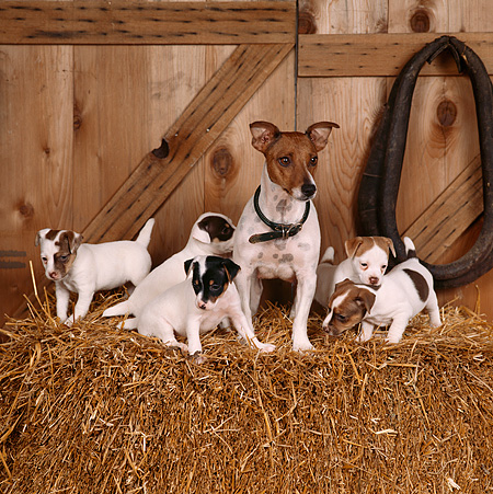 PUP 14 RS0009 02 © Kimball Stock Jack Russell Terrier Adult And Puppies On Hay In Barn