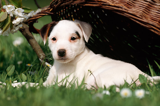 PUP 14 SS0002 01 © Kimball Stock Jack Russell Terrier Puppy Laying On Grass Under Wicker Basket