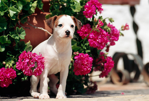 PUP 14 SS0003 01 © Kimball Stock Jack Russell Terrier Puppy Standing By Pink Flowers