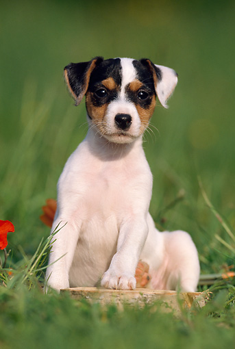 PUP 14 SS0004 01 © Kimball Stock Jack Russell Terrier Puppy Sitting On Grass