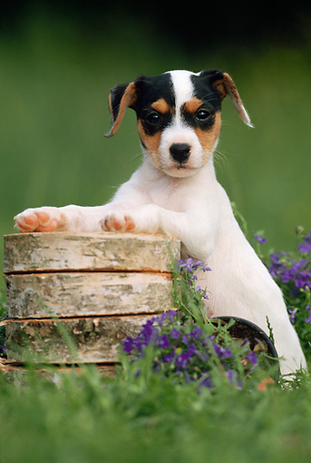 PUP 14 SS0007 01 © Kimball Stock Jack Russell Terrier Puppy Standing With Paws On Wood Pile In Grass