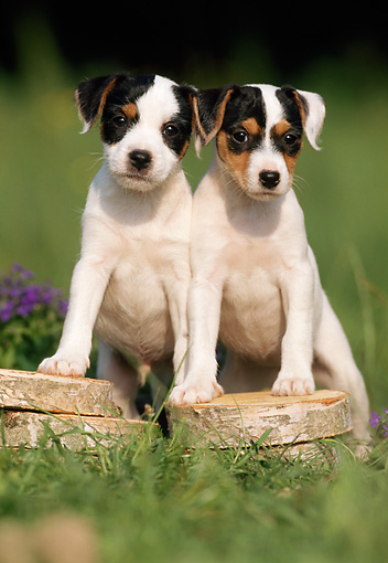 PUP 14 SS0008 01 © Kimball Stock Jack Russell Terrier Puppies Standing With Paws On Wood Pile In Grass