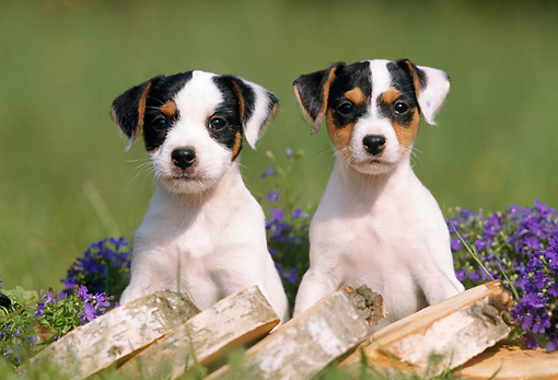 PUP 14 SS0009 01 © Kimball Stock Jack Russell Terrier Puppies Sitting By Wood Pile In Grass