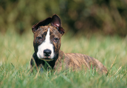 PUP 14 SS0016 01 © Kimball Stock Bull Terrier Puppy Laying In Grass