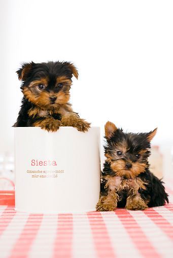 PUP 14 YT0001 01 © Kimball Stock Yorkshire Terrier Puppies Sitting On Kitchen Table