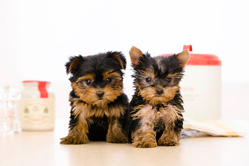 PUP 14 YT0002 01 © Kimball Stock Yorkshire Terrier Puppies Sitting On Kitchen Table