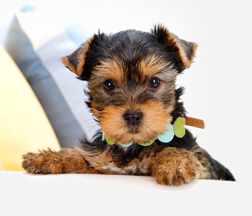 PUP 14 YT0003 01 © Kimball Stock Yorkshire Terrier Puppy Sitting By Arm Of White Couch
