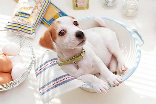 PUP 14 YT0004 01 © Kimball Stock Jack Russell Terrier Puppy Laying In Colander