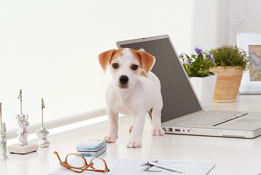 PUP 14 YT0005 01 © Kimball Stock Jack Russell Terrier Puppy Standing On White Desk