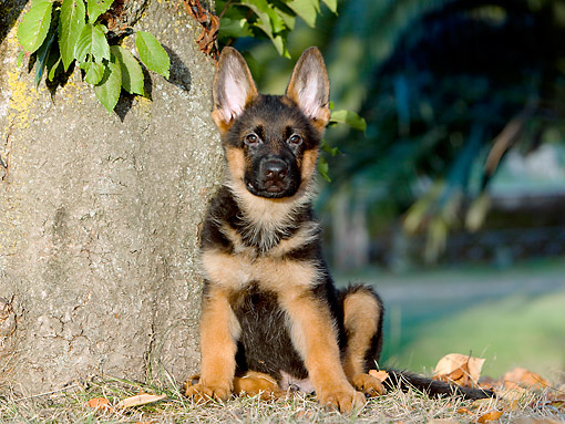 PUP 15 CB0014 01 © Kimball Stock German Shepherd Puppy Sitting On Grass By Tree Trunk