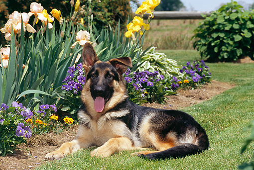 PUP 15 CE0044 01 © Kimball Stock German Shepherd Puppy Laying On Grass By Garden
