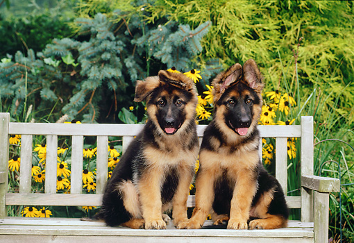 PUP 15 CE0045 01 © Kimball Stock German Shepherd Puppies Sitting On Bench