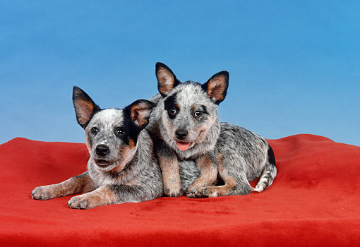 PUP 15 FA0001 01 © Kimball Stock Australian Cattle Dog Puppies Laying On Red Blanket