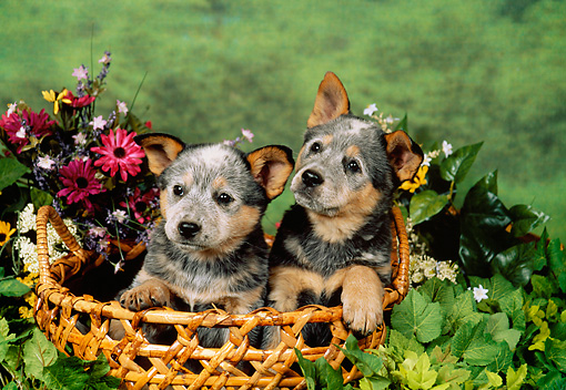 PUP 15 FA0002 01 © Kimball Stock Australian Cattle Dog Puppies Sitting In Basket