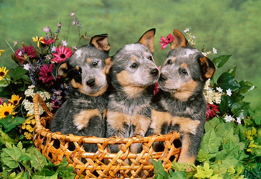PUP 15 FA0003 01 © Kimball Stock Australian Cattle Dog Puppies Sitting In Basket