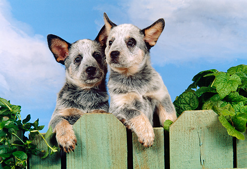 PUP 15 FA0004 01 © Kimball Stock Australian Cattle Dog Puppies Looking Over Green Fence