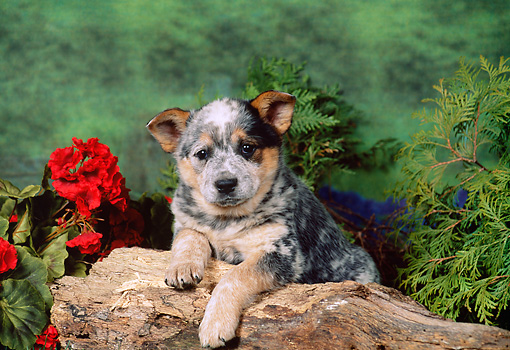 PUP 15 FA0005 01 © Kimball Stock Australian Cattle Dog Puppy Laying On Log By Red Flowers