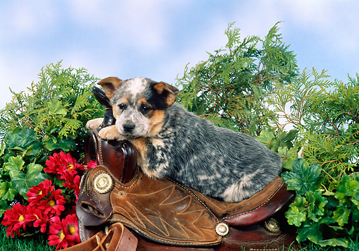 PUP 15 FA0006 01 © Kimball Stock Australian Cattle Dog Puppy Laying On Saddle