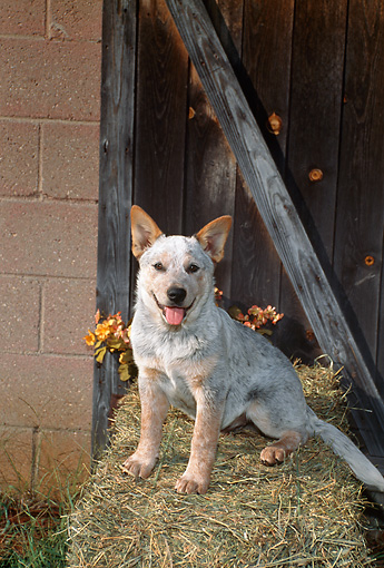PUP 15 FA0008 01 © Kimball Stock Australian Cattle Dog Puppy Sitting On Hay Bale