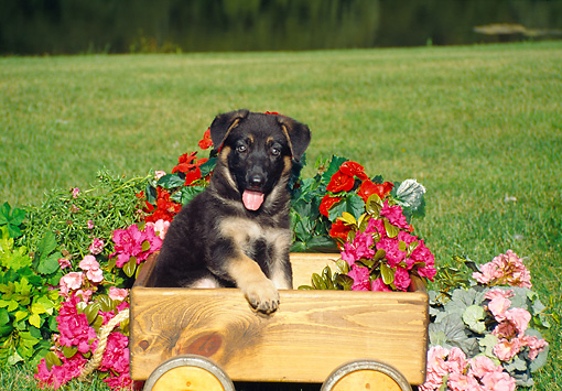 PUP 15 FA0015 01 © Kimball Stock German Shepherd Puppy Sitting In Wooden Wagon By Flowers
