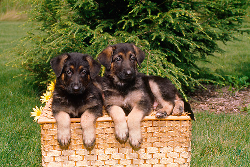 PUP 15 FA0017 01 © Kimball Stock German Shepherd Puppies Laying On Box On Grass
