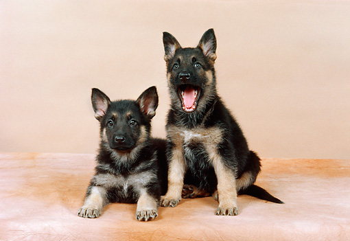 PUP 15 FA0021 01 © Kimball Stock German Shepherd Puppies Studio