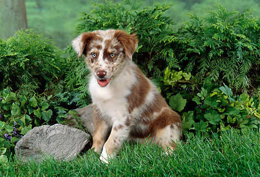 PUP 15 FA0025 01 © Kimball Stock Australian Shepherd Puppy Sitting In Grass By Shrubs