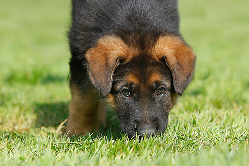 PUP 15 GL0001 01 © Kimball Stock Close-Up Of German Shepherd Puppy Standing On Grass
