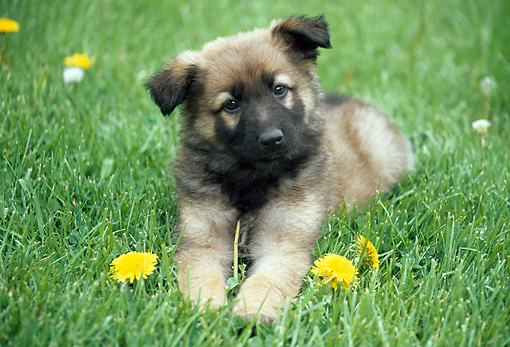 PUP 15 GR0014 01 © Kimball Stock German Shepherd Puppy Laying On Grass With Dandelions