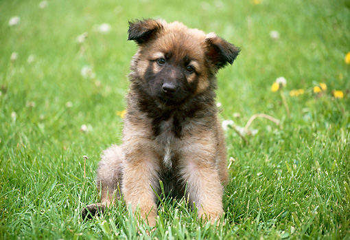 PUP 15 GR0020 01 © Kimball Stock German Shepherd Puppy Sitting On Grass
