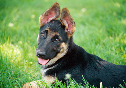 PUP 15 GR0028 01 © Kimball Stock Close-Up Of German Shepherd Puppy Laying On Lawn