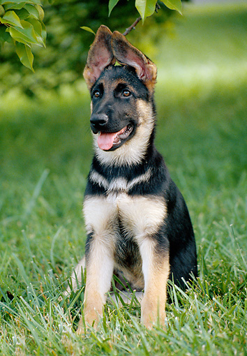 PUP 15 GR0032 01 © Kimball Stock Close-Up Of German Shepherd Puppy Sitting On Lawn