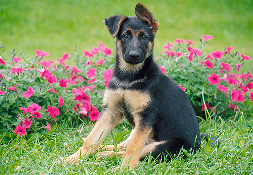 PUP 15 GR0034 01 © Kimball Stock German Shepherd Puppy Sitting On Grass By Pink Flowers