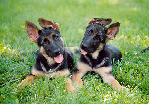 PUP 15 GR0035 01 © Kimball Stock Two German Shepherd Puppies Laying On Lawn