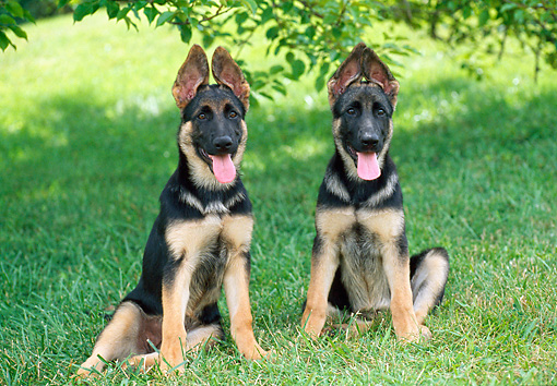 PUP 15 GR0040 01 © Kimball Stock Two German Shepherd Puppies Sitting On Lawn