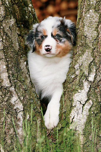 PUP 15 JE0012 01 © Kimball Stock Australian Shepherd Puppy Standing Between Tree Trunks