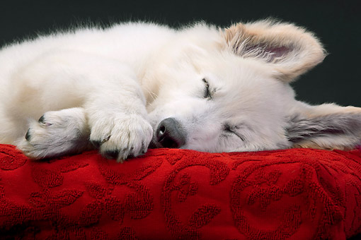 PUP 15 JE0022 01 © Kimball Stock Swiss Shepherd Puppy Sleeping On Red Cusion In Studio