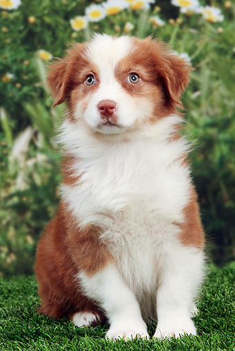 PUP 15 JE0030 01 © Kimball Stock Australian Shepherd Puppy Sitting On Grass By Mums