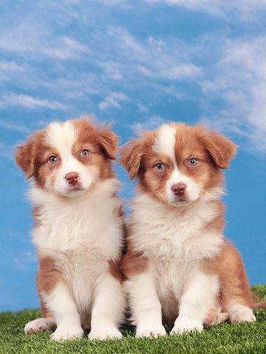 PUP 15 JE0034 01 © Kimball Stock Two Australian Shepherd Puppies Sitting On Grass Against Blue Sky