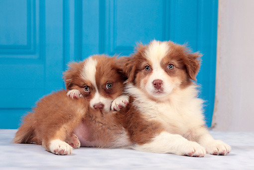 PUP 15 JE0035 01 © Kimball Stock Two Australian Shepherd Puppies Laying By Blue Door