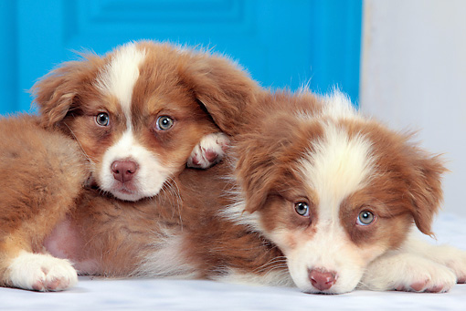 PUP 15 JE0036 01 © Kimball Stock Two Australian Shepherd Puppies Laying By Blue Door