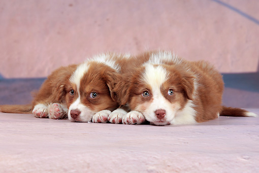 PUP 15 JE0039 01 © Kimball Stock Portrait Of Two Australian Shepherd Puppies Laying