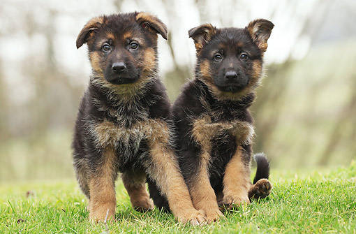 PUP 15 JE0049 01 © Kimball Stock German Shepherd Puppies Sitting On Grass