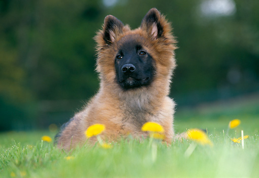 PUP 15 JS0002 01 © Kimball Stock Belgian Shepherd (Tervuren) Puppy Laying On Grass And Dandelions