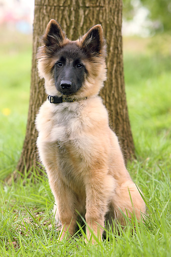 PUP 15 NR0003 01 © Kimball Stock Belgian Shepherd Puppy Sitting On Grass By Tree