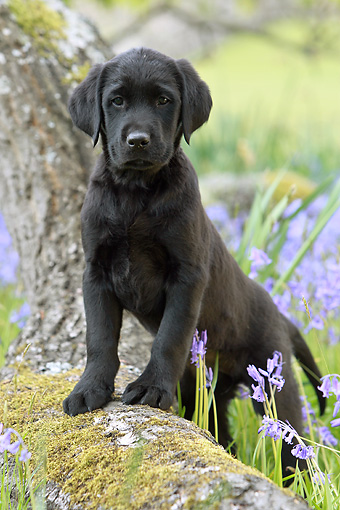 PUP 15 NR0005 01 © Kimball Stock Black Labrador Retriever Puppy Leaning On Tree Trunk By Violet Flowers