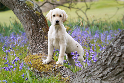 PUP 15 NR0006 01 © Kimball Stock Yellow Labrador Retriever Puppy Leaning On Tree Trunk By Violet Flowers