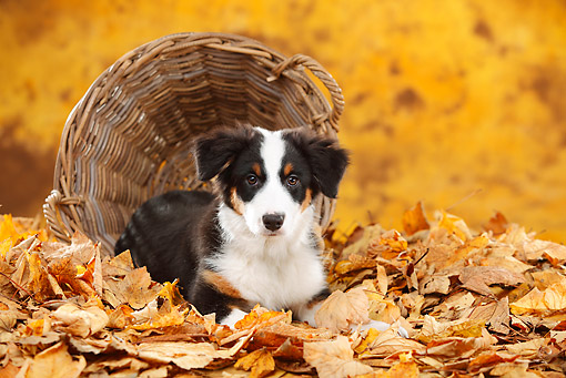 PUP 15 PE0011 01 © Kimball Stock Australian Shepherd Puppy Laying By Tipped Basket In Autumn Leaves