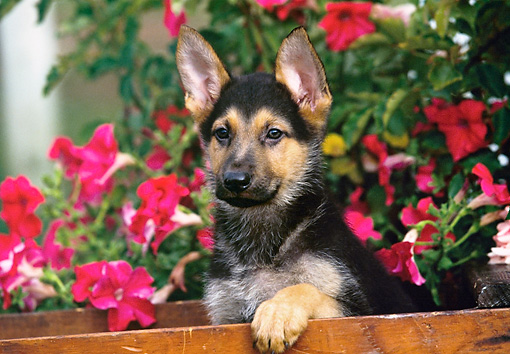 PUP 15 RK0033 03 © Kimball Stock German Shepherd Puppy Sitting In Wooden Crate By Pink Flowers